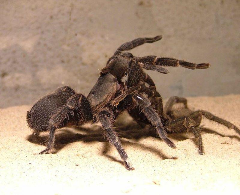 עכבישים_בזיווג